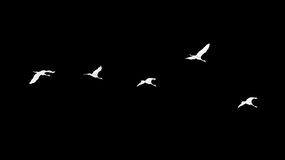 Flock of swans on a black background Royalty Free Stock Image