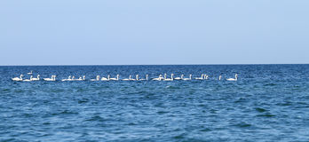 A flock of swans on Black Sea Royalty Free Stock Photos