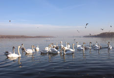 Flock of swans on the Danube Stock Images