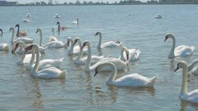 Flock of swans fed with it of the city pond stock footage