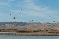 Flock of swans in flight Stock Photo