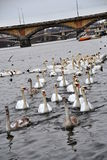 Flock of swans Stock Images
