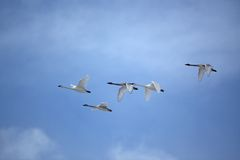 Flock of Swans flying in formation. Flock of Trumpeter Swans fly through a beautiful blue sky Stock Photo