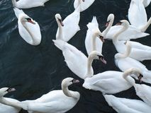 Flock of Swans on Lake Zurich, Switzerland. A flock of white swan in their natural habitat. A group of swans waiting for food Royalty Free Stock Photo