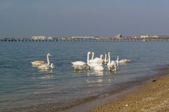 A flock of swans mute lat. Cygnus olor is a bird of the duck family - wintering in the black sea off the coast of Anapa. Russia royalty free stock photo