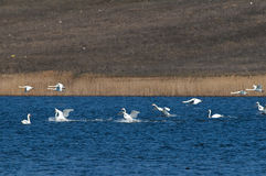 Flock of swans over the water Stock Images