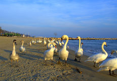 Flock of strolling swans Royalty Free Stock Photos
