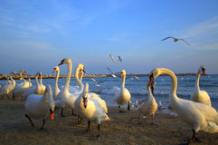 Flock of swans promenade Royalty Free Stock Photography