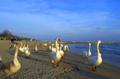 Flock of swans promenade Stock Image