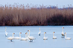 Flock of Swans resting on ice Stock Photos
