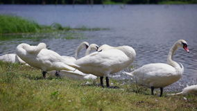Flock of swans resting at lake. HD 1080 Static: Swan standing close to lake water, resting stock footage