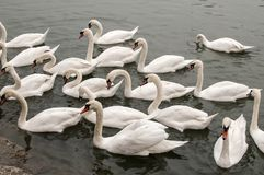 A flock of swans in river waters. Close to stone steps river banks royalty free stock photo