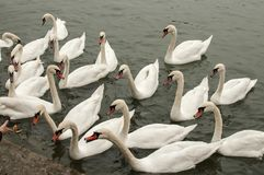 A flock of swans in river waters. Close to stone steps river banks stock photography