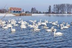 Flock of swans Stock Photos