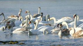 Flock of Swans stock video