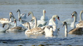 Flock of swans stock footage