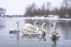 Flock of swans swimming on river water surface in winter time. Overwinter birds stock photography
