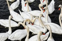 Flock of swans in the water stock photos