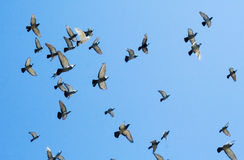 Flock swarm of pigeons Stock Photography