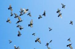 Flock swarm of pigeons Stock Photography