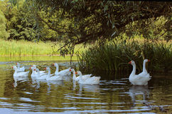 Flock of swimming geese Royalty Free Stock Images