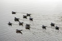 Flock of swimming seagulls in the river Stock Photos