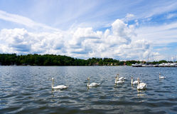 The flock of swimming swans. Swans flock swimming through the lake in the forest under the blue cloudy sky Stock Photography