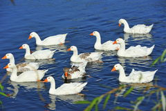 Flock of swimming white geese Stock Photo