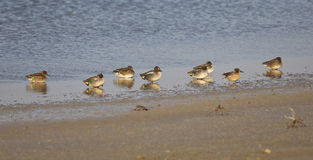A Flock of Teals on a Shore (Anas crecca) Stock Photography
