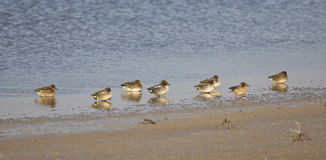A Flock of Teals on a Shore (Anas crecca) Royalty Free Stock Image