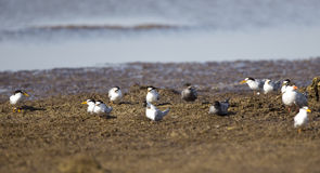 A Flock of Terns Stock Images
