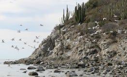 A Flock of Terns in Flight on a Desert Island. Venado Island, San Carlos, Mexico stock image