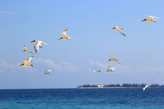 Flock of terns flying over the sea Royalty Free Stock Images