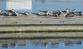 Flock of Terns line a boardwalk near the water. Stock Image