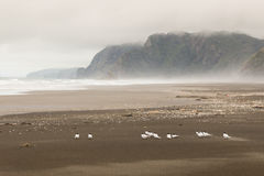Flock of terns resting on Karekare beach Royalty Free Stock Image