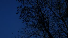 Flock of Texas grackles flying from trees at night