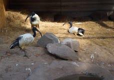 Flock of black-headed threskiornis ibises standing and sitting i stock image