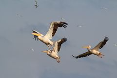 Flock of three pelicans flying Royalty Free Stock Image