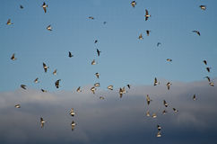 Flock of Tree Swallows Flying in Cloudy Sky Stock Photos