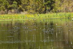 Flock of tree swallows skims the water for fish, Georgia. royalty free stock photo