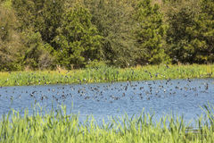 Flock of tree swallows skims the water for fish, Georgia. Flock of tree swallows, Iridoprocne bicolor, swooping down to the surface for feeding at Goose Pond in Royalty Free Stock Photography