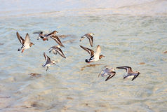 Flock of Tringa. Flying over the sea Royalty Free Stock Photo