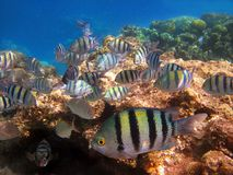 A flock of tropical fish Royalty Free Stock Image
