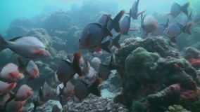 Flock of tropical fish on reef in search of food. A flock school of tropical fish on the reef in search of food. Amazing, beautiful underwater marine life world stock video