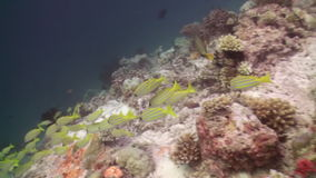 Flock of tropical fish on reef in search of food. A flock school of tropical fish on the reef in search of food. Amazing, beautiful underwater marine life world stock video footage