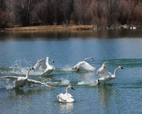 Flock of Trumpeter Swans Royalty Free Stock Photo