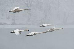Flock of Trumpeter Swans Flies Over River Royalty Free Stock Image