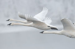 Flock of Trumpeter Swans Fly Past Stock Photo
