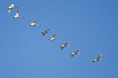 Flock of Trumpeter Swans Flying in a Blue Sky Royalty Free Stock Image