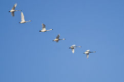 Flock of Trumpeter Swans Flying in a Blue Sky Stock Photo